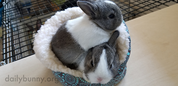 Bunnies Compete for Space in a Tiny Bed (or Hat?)