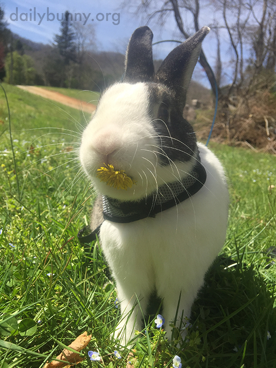 One of the Best Things About Grass for Bunnies Is the Dandelions!