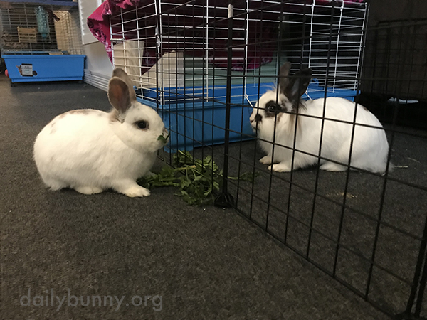 Bunnies Share a Snack from Opposite Sides of the Fence