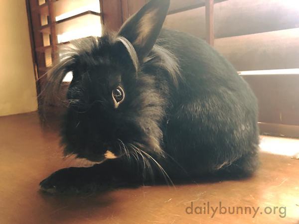 Bunny Stretches Out That Big Back Leg for Some Grooming