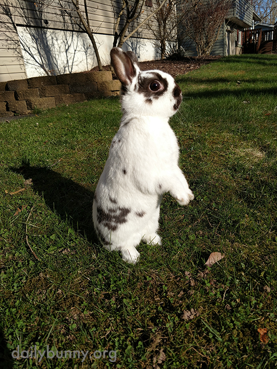 Bunny Stands Up to Get a Better Look Around the Yard