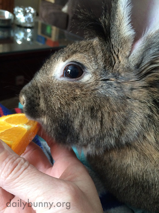 Bunny Gets a Nibble of Human's Orange 1