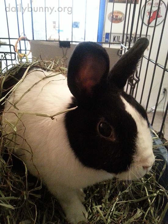 Bunny Sits in a Lush Bed of Hay