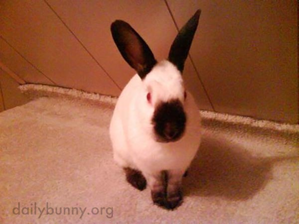 Bunny Looks Like He Stuck His Nose in an Inkwell