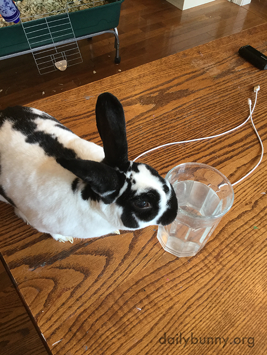 Thirsty Bunny Will Share Human's Glass of Water