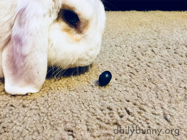 Bunny Eyes a Blueberry Treat