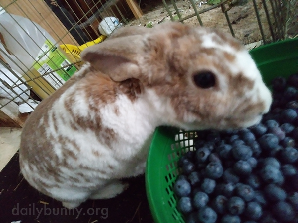 Bunny Gets the Pick of the Blueberry Patch