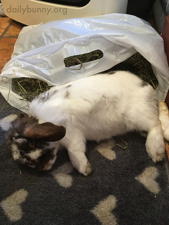 Bunny Guards His Hay from Nibblers, Even When He's Tired