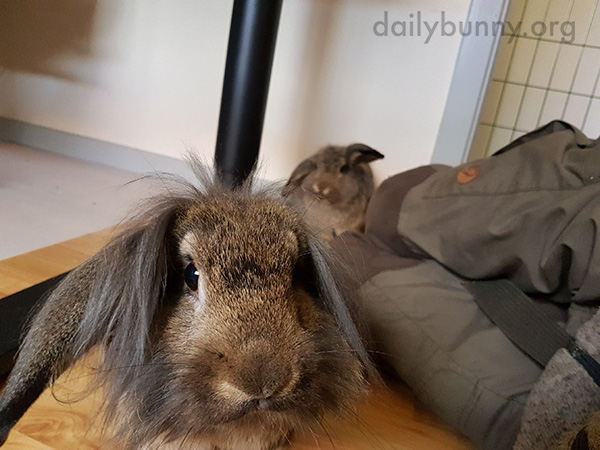 One Bunny Is More Curious About the Camera Than the Other
