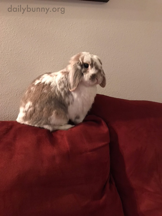 Bunny Sits on the Back of the Sofa for Maximum Room Supervision 1