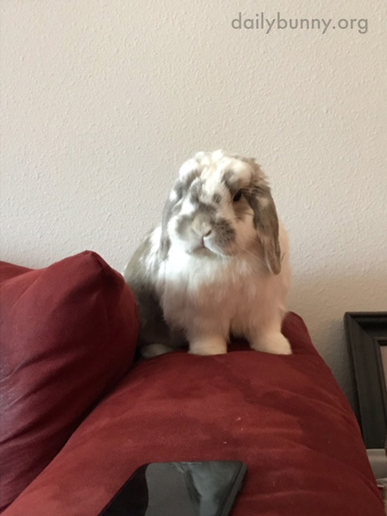 Bunny Sits on the Back of the Sofa for Maximum Room Supervision 3
