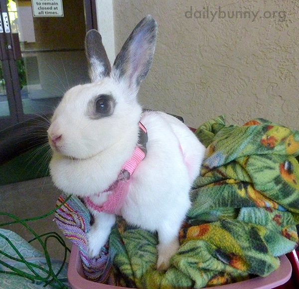 Bunny Helps Human with the Laundry