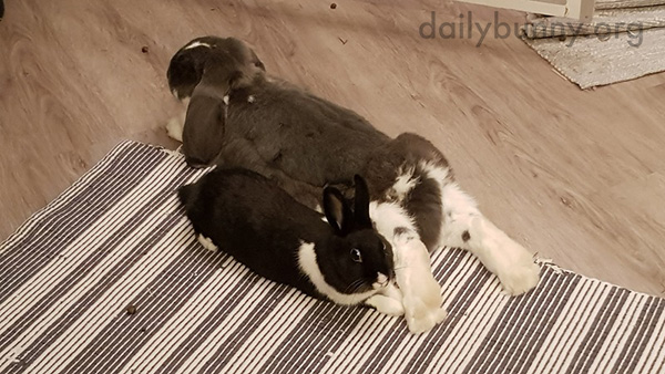 Bunnies Relax Heads to Tails