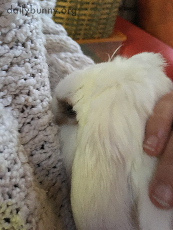 Bunny Nuzzles into Human's Sweater