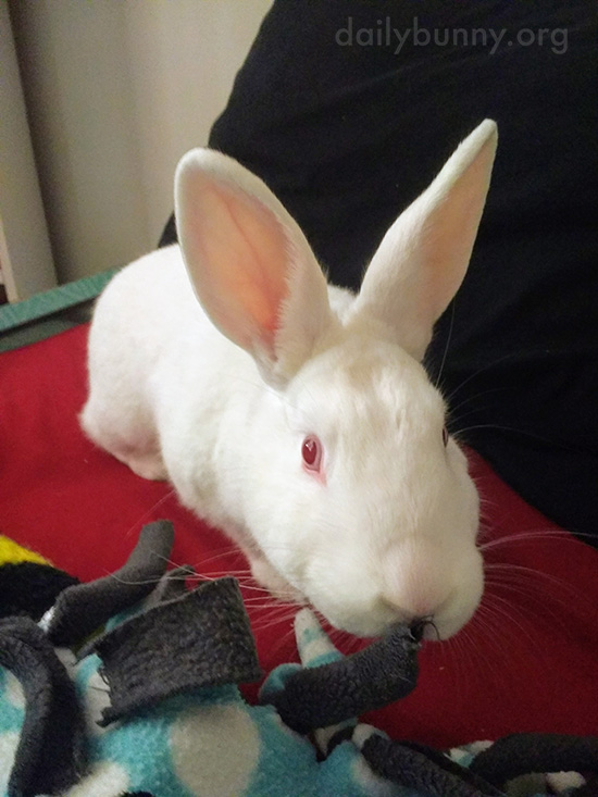 Bunny Nibbles on the Fuzzy Appendage of His Toy