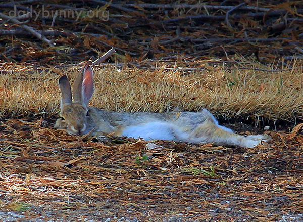 Wild Bunny Is REALLY Relaxed!