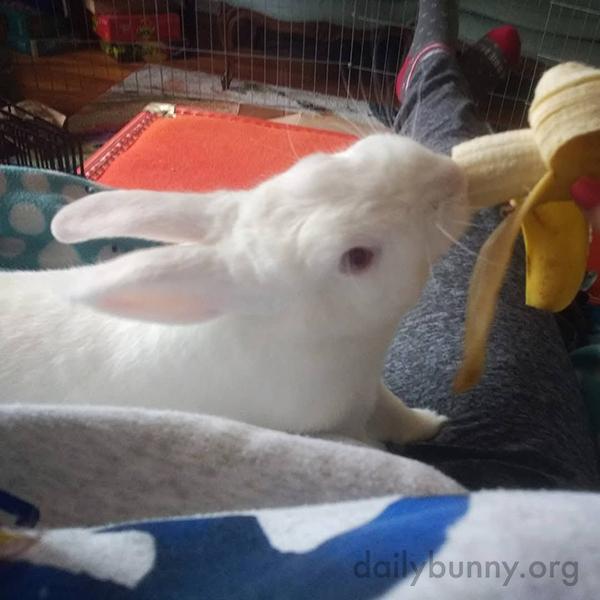 Bunny and Human Alternate Bites of Banana