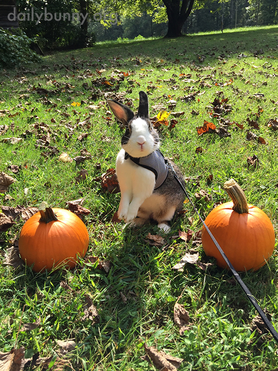 Autumn Bunny Hangs Out with Pumpkins and a Scarecrow 1