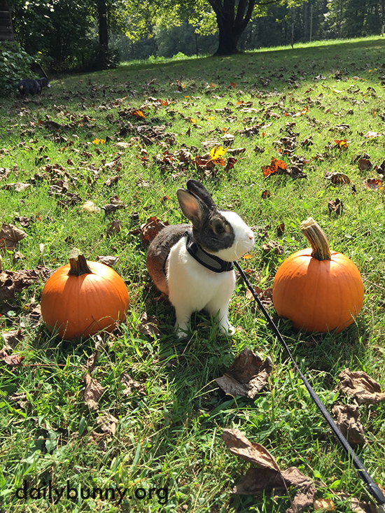 Autumn Bunny Hangs Out with Pumpkins and a Scarecrow 3