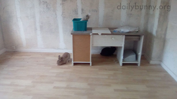 Bunnies Explore the Newly Cleaned-Out Apartment