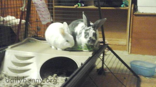 Bunnies Share a Big Leaf of Kale