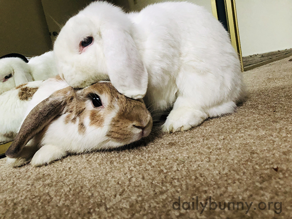 Bunny Gently Grooms His Friend