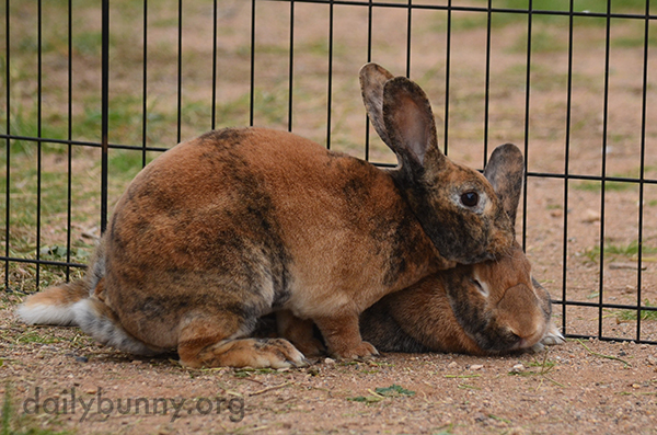 Bunny Gently Grooms Her Sister