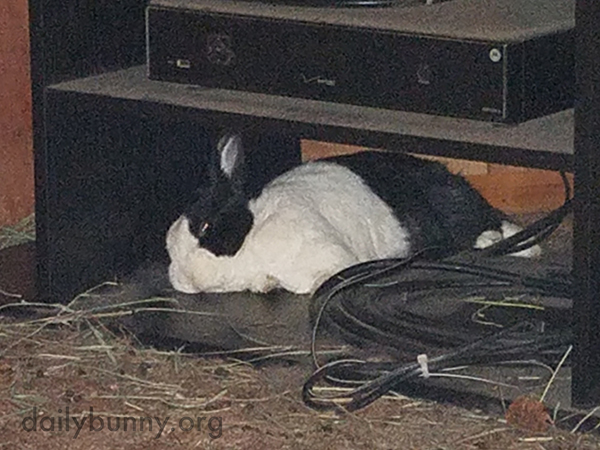 Well-Behaved Bunny Naps Instead of Destroying Those Cords