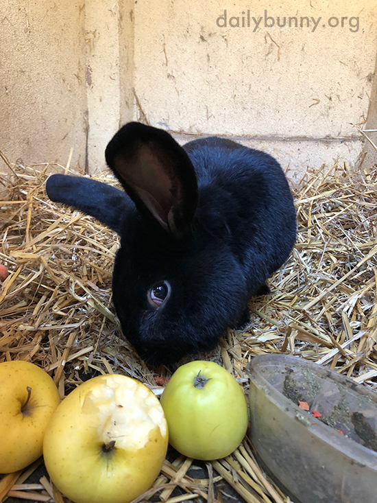 Bunny Enjoys Some Nibbles from That Apple