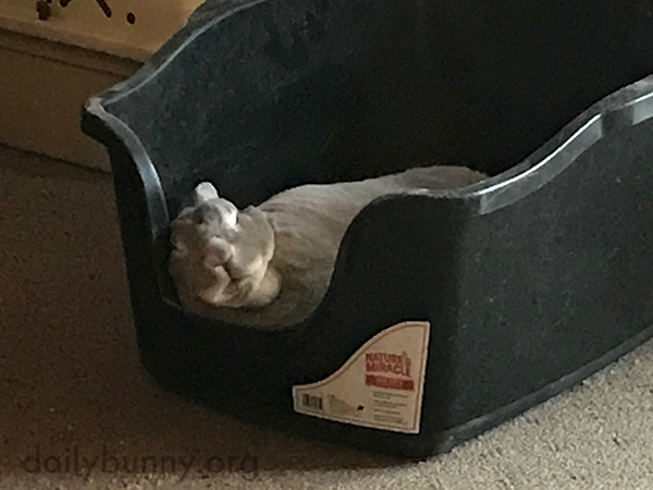 Bunny Has Completely, Totally Conked Out in His Litter Box