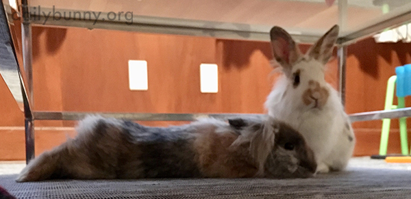 Protective Bunny Watches Over His Resting Friend