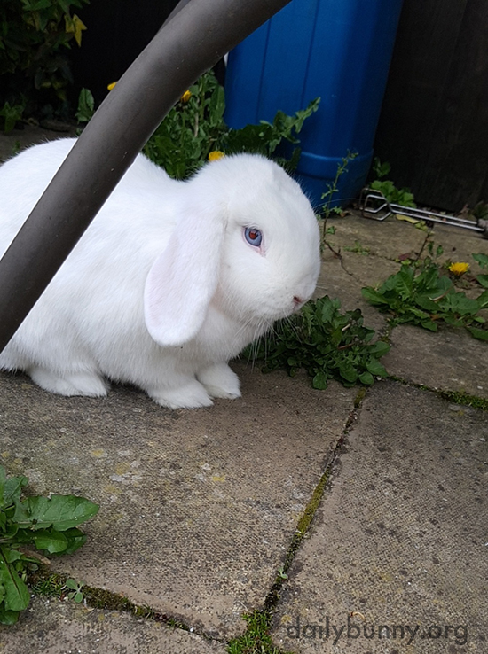 Bunny Will Take Care of Those Dandelions for Her Humans