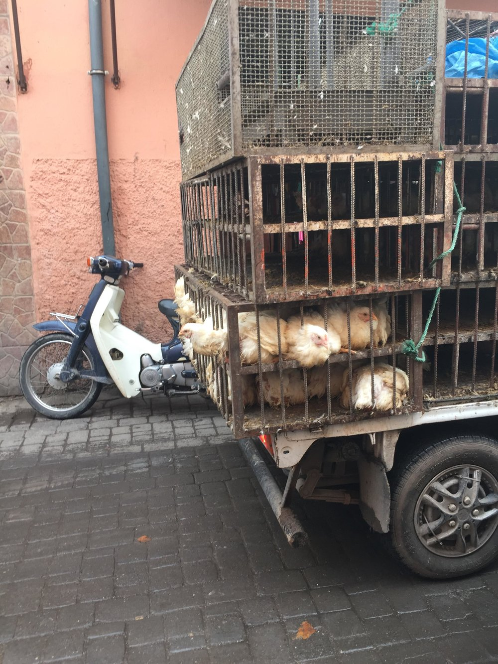 Chickens going to market in Marrakesh, Morocco
