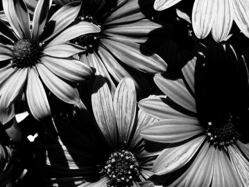 daisies no. 1