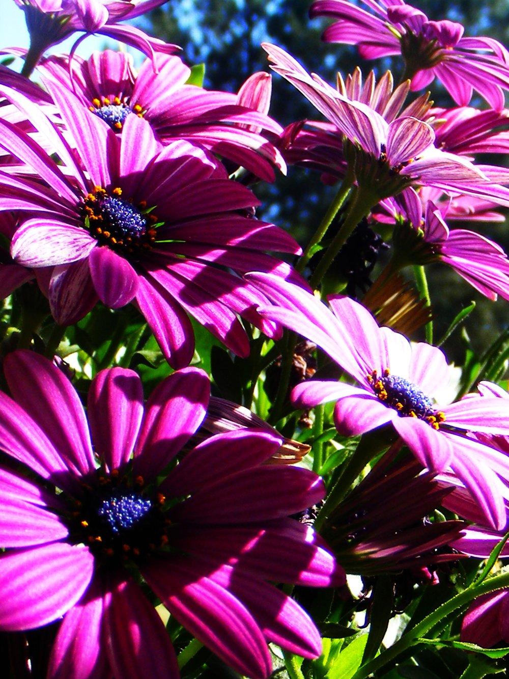 daisies no. 2