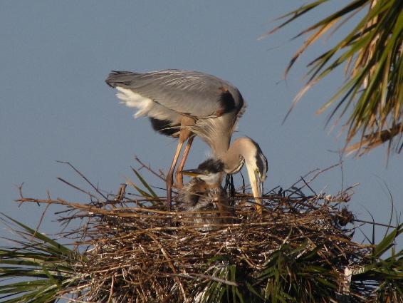 momma and baby heron a fav.JPG