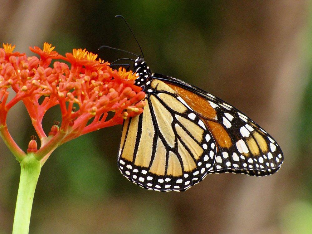 monarch 4.jpg