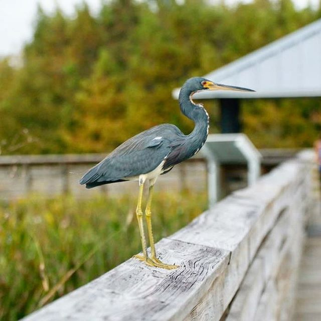 #heron #tricolorheron #bird #birds #birdsofinstagram #reflection #instagood #canonusa #florida #wildlife #wildlifephotography #nature #naturephotography #capture #leadinglines #boardwalk #bokeh