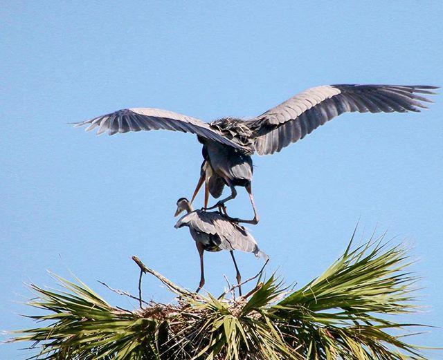 #greatblueheron #mating #vierawetlands #bird #birds #birdsofinstagram #colorful #capture #instagood #nature #naturephotography #wildlife #wildlifephotography #canonusa #florida #moment #palmtree