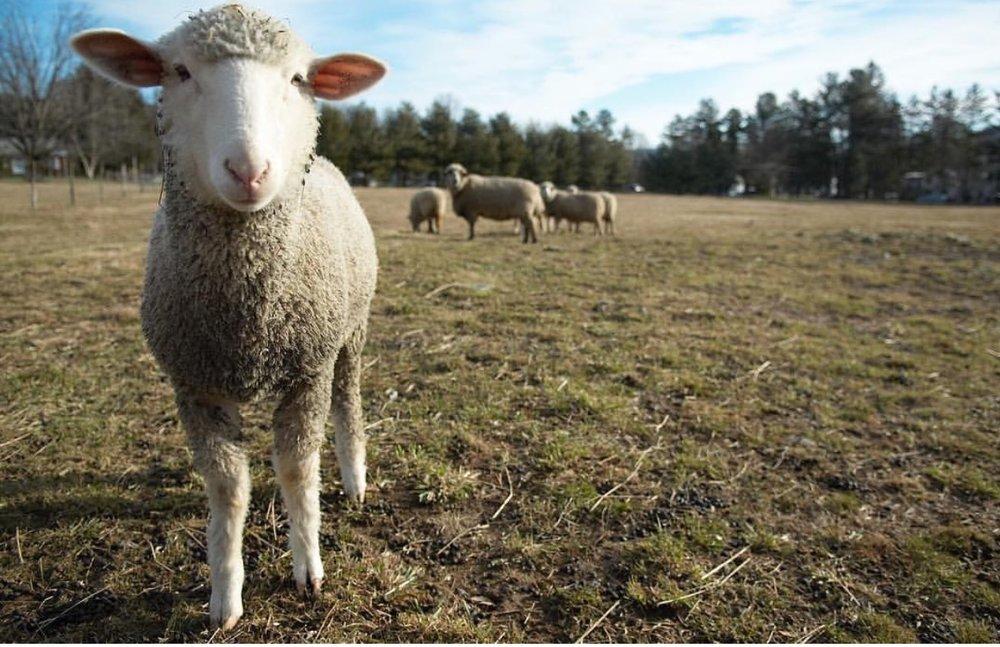 sheepbaby.jpg