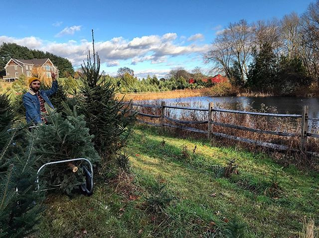 Haven't had a real tree since I lived in Plymouth. Today we found a farm and cut down a real one though. Feeling in the spirit.
