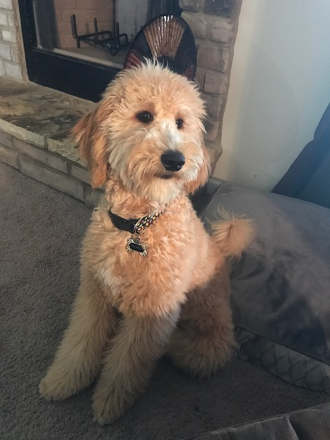Goldendoodle-pup