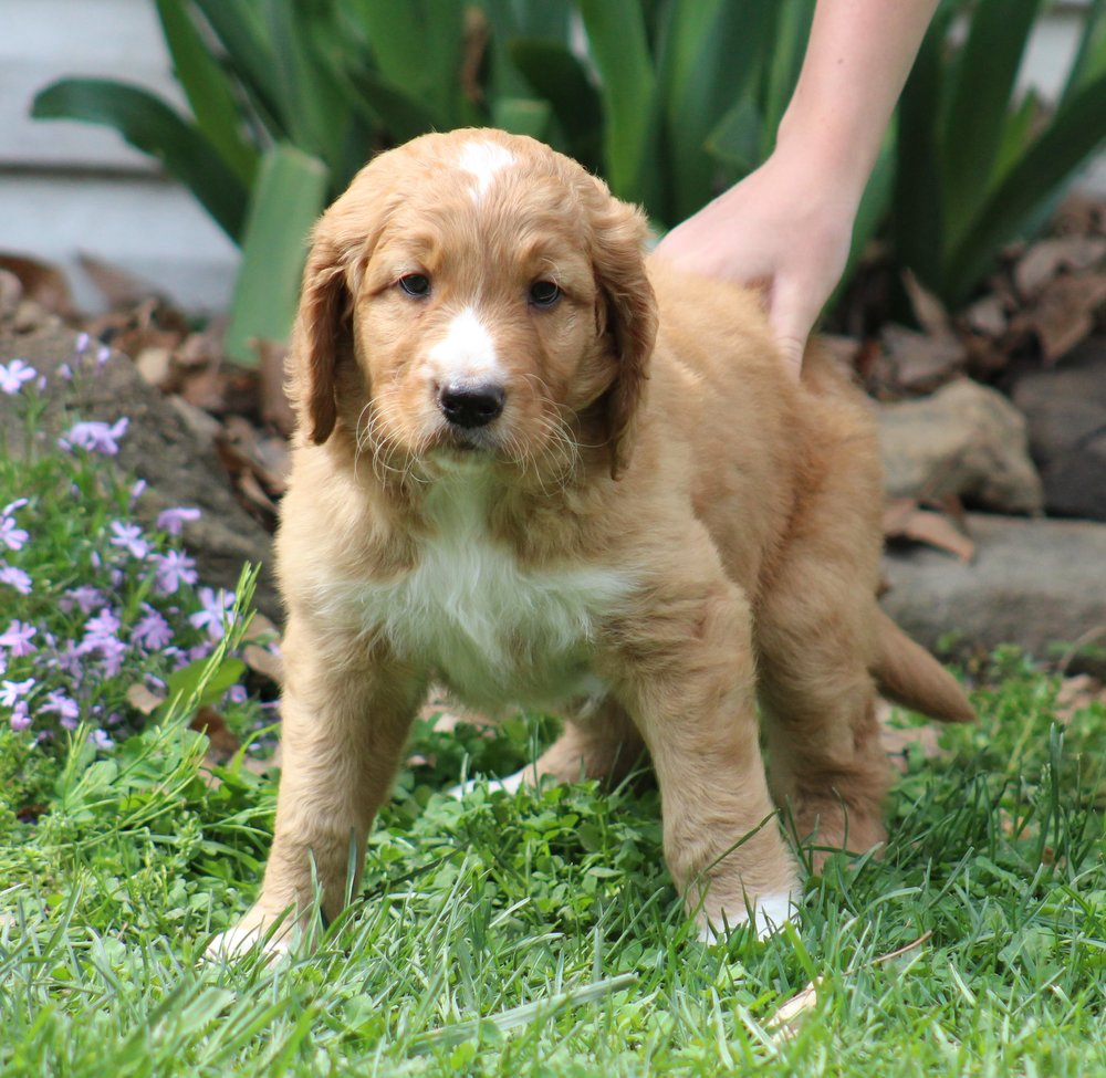 red-f1-Goldendoodle