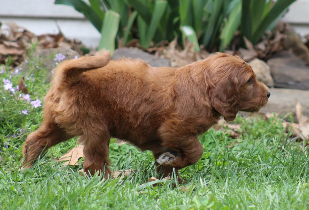 F1 Red Goldendoodle