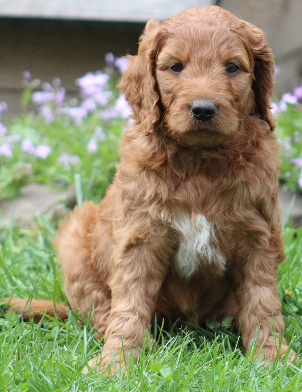 f1-Goldendoodle-Puppy