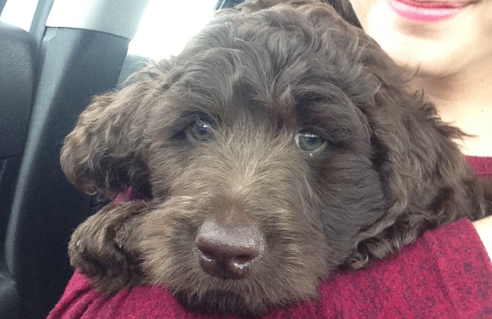 chocolate-goldendoodle