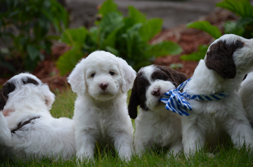 mini-Springerdoodle-puppies