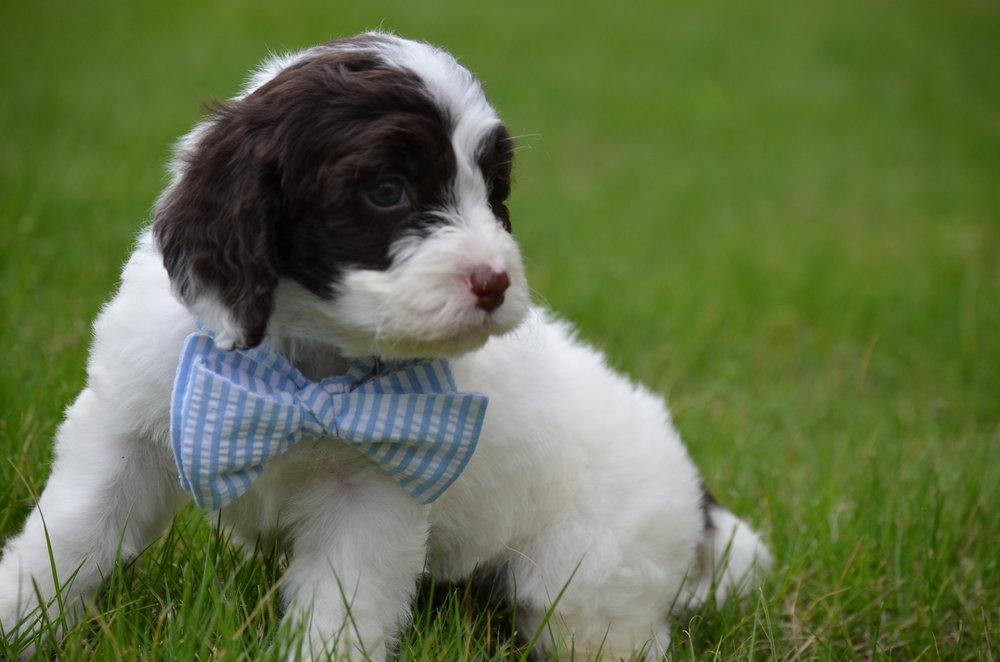 Bobby-mini-Springerdoodle-boy (3).JPG