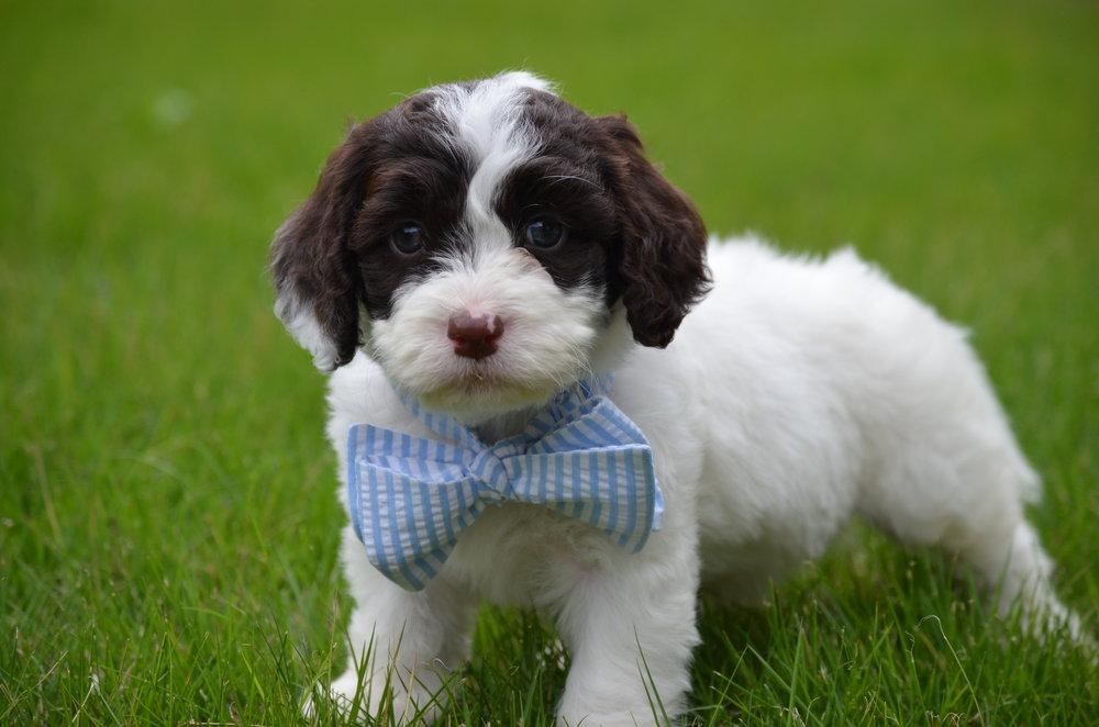 Bobby-mini-Springerdoodle-boy (5).JPG