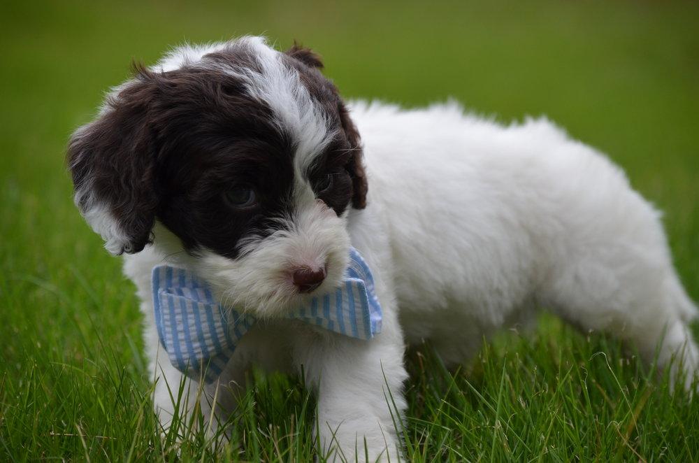 Bobby-mini-Springerdoodle-boy (6).JPG